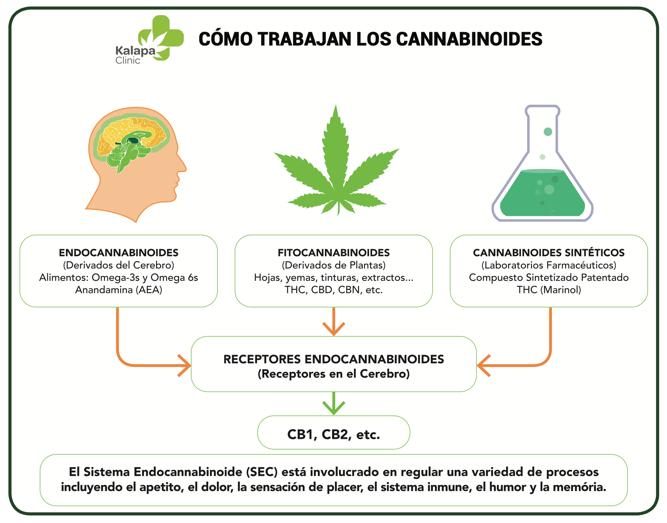 Endocannabinoides Mecanismo de accion