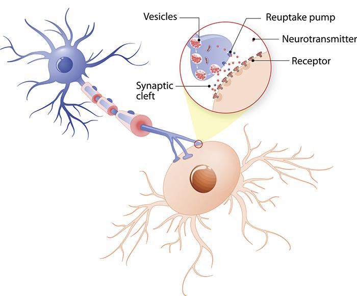 Estructura de una sinapsis química típica