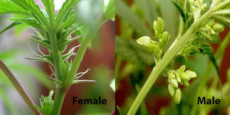 Plantas masculinas y femeninas