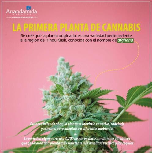 Primera Planta de Cannabis