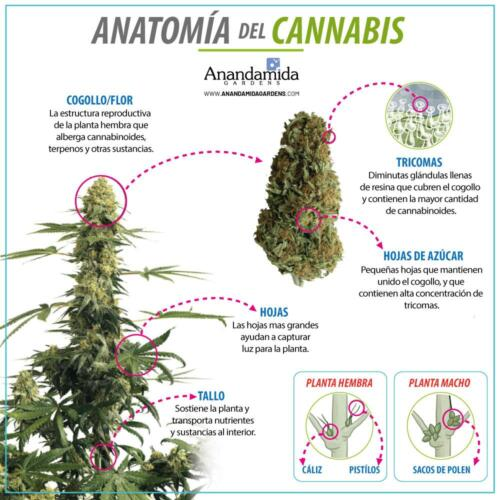 Anatomia del Cannabis