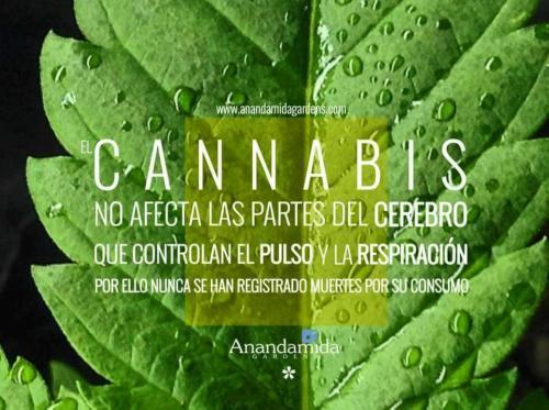 El Cannabis no es adictivo
