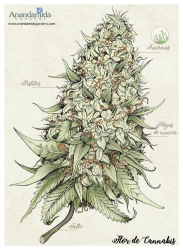 Flor-de-Cannabis