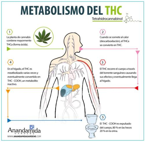 Metabolismo del THC