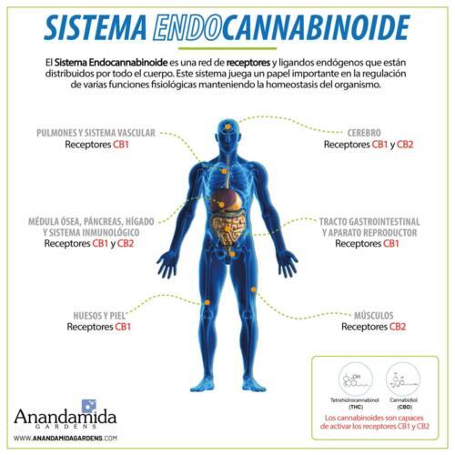 Sistema Endocannabinoide Humano